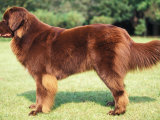 Brown Newfoundland Standing in Show Stack / Pose
