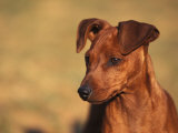 Miniature Pinscher Portrait
