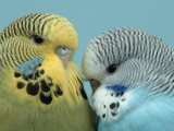Budgerigar Pair Courting
