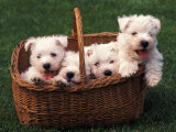Domestic Dogs  Four West Highland Terrier / Westie Puppies in a Basket