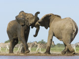African Elephant  Bulls Fighting at Waterhole  Zebra in Background  Etosha National Park  Namibia