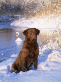 Chesapeake Bay Retriever Sitting in Snow by River  Illinois  USA