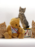Domestic Cat  Two Ginger Kittens and a Tabby with Ginger Teddy Bear