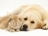 Sandy Lop Rabbit Resting with Golden Retriever Bitch
