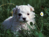 Maltese Puppy Sitting in Grass Near a Daisy