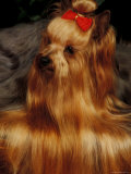 Yorkshire Terrier with Hair Tied up and More Hair Falling Over the Edge