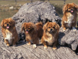 Domestic Dogs  Four Tibetan Spaniels on Rocks