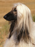 Afghan Hound Profile