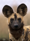 African Wild Dog  Portrait  South Africa