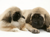 Pekingese Pup with English Mastiff Puppy