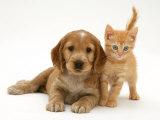 Golden Cocker Spaniel Puppy with British Shorthair Red Tabby Kitten