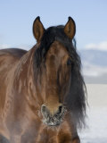 Bay Andalusian Stallion  with Hairs on Nose Frozen  Longmont  Colorado  USA
