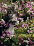 Domestic Cat  8-Week  Tabby Among Red Campion and Hedge Parsley