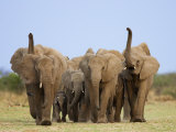 African Elephants  Using Trunks to Scent for Danger  Etosha National Park  Namibia