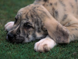 Spanish Mastiff Puppy Lying Down
