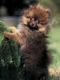 German Spitz (Klein) Puppy Climbing Branch