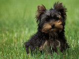 Yorkshire Terrier Puppy Sitting in Grass