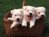 Three West Highland Terrier / Westie Puppies in a Basket