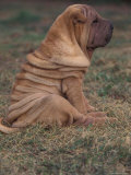 Shar Pei Puppy Sitting on Grass  Showing Skin Wrinkling on Back