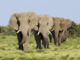 African Elephant  Bulls Walking in Line  Etosha National Park  Namibia