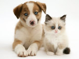 Blue-Eyed Red Merle Border Collie Puppy with Birman-Cross Kitten  Blue Eyes