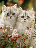 Domestic Cat  Two Silvertabby Persian Kittens Among Michaelmas Dasies and Rose Hip