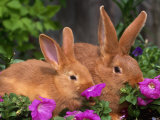 Mother and Baby New Zealand Rabbit Amongst Petunias  USA
