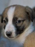 Half / Mixed Breed Puppy
