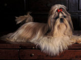 Shih Tzu Portrait with Hair Tied Up  Lying on Drawers