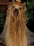 Yorkshire Terrier with Hair Tied up and Very Long Hair