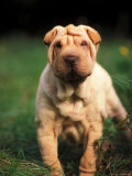 Young Shar Pei Portrait Showing Wrinkles on Head and Chest