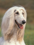Domesti Dog  Afghan Hound Portrait