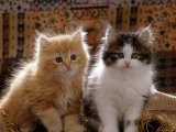 Domestic Cat  8-Week  Red and Tabby White Persian Cross Kittens