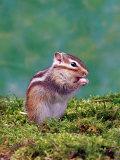 Siberian Chipmunk