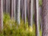 Abstract of Caledonian Pine Forest  Abernethy  Scotland  UK