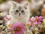 Domestic Cat  Silvertabby Kitten Among Michaelmas Dasies  Japanese Anemones and Cosmos Dasies