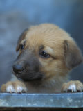 Half / Mixed Breed Puppy