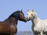 Bay Stallion and Palomino Stallion Touching Noses  Pryor Mountains  Montana  USA