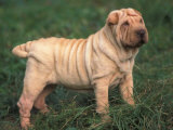 Shar Pei Standing in Grass