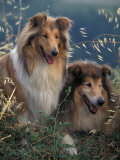 Two Shetland Sheepdogs Panting