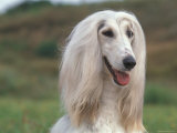 Afghan Hound Portrait