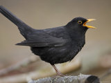 Blackbird (Turdus Merula) Male Singing  Helsinki  Finland