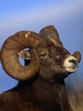 Rocky Mountain Bighorn Sheep  Jasper National Park  Alberta  Canada