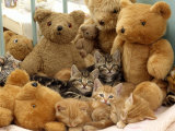 Domestic Cat  Five Kittens in Cot with Teddy Bears