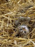 Domestic Cat  Tabby Farm Kitten Playing in Straw