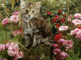 Domestic Cat  8-Week  Long Haired Tabby Kitten with Pink Roses