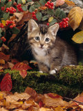 Domestic Cat  Tabby Kitten Among Autumn Leaves and Cottoneaster Berries