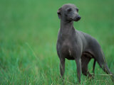 Slate Blue Whippet with Ears Drawn Back