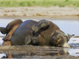 Black Rhinoceros  Wallowing and Rolling in Mud  Etosha National Park  Namibia