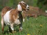 Domestic Goat  Grazing  USA